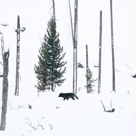 A wild wolf in Yellowstone, Wyoming