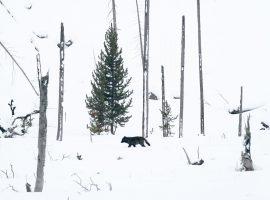 A wild wolf in Yellowstone, Wyoming