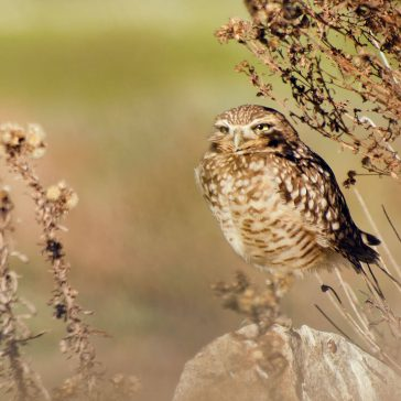 Burrowing owl captured by Seth K. Hughes