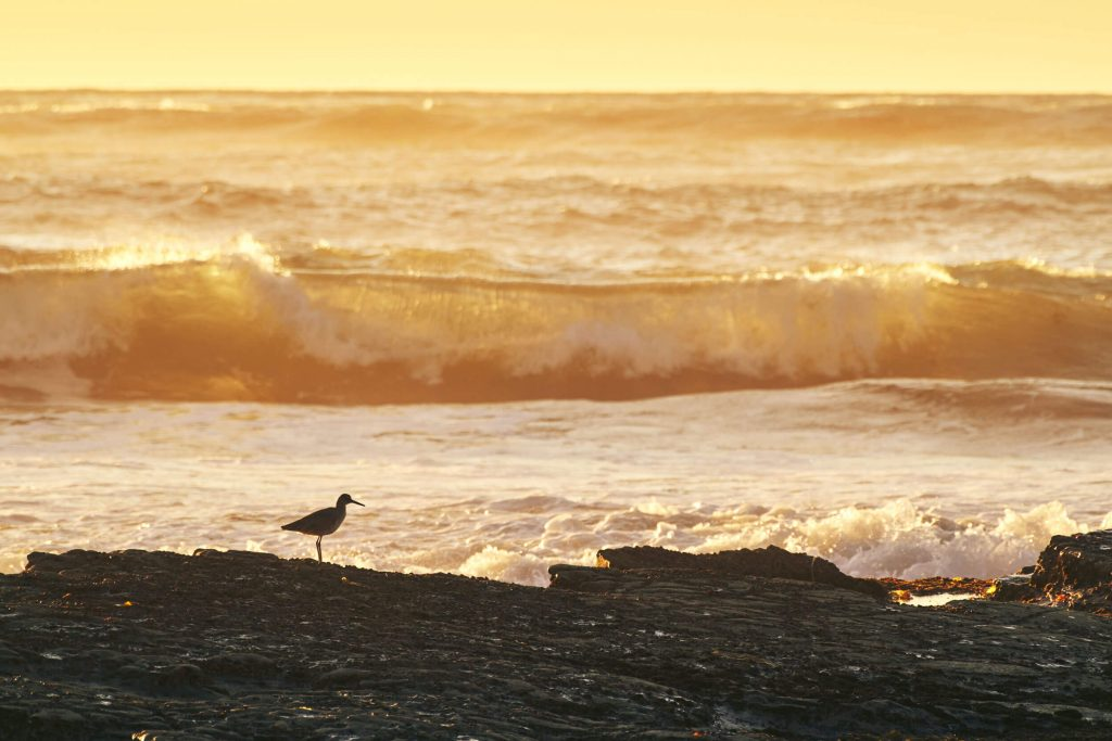 Sandpiper silhouette at sunset, San Diego, CA
