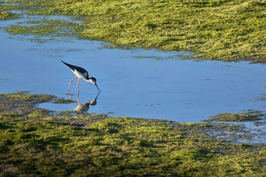Black-necked Stilt in San Elijo Lagoon, CA