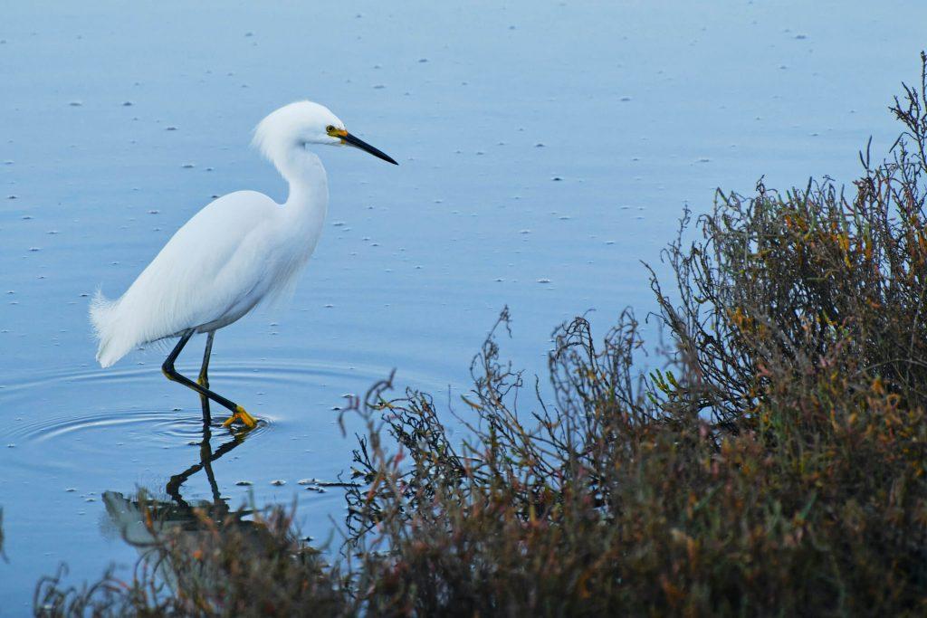 Snowy egret stalking a fish in San Elijo Lagoon, CA