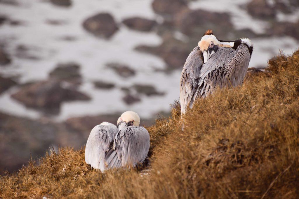 Pelicans nesting near La Jolla Cove, CA